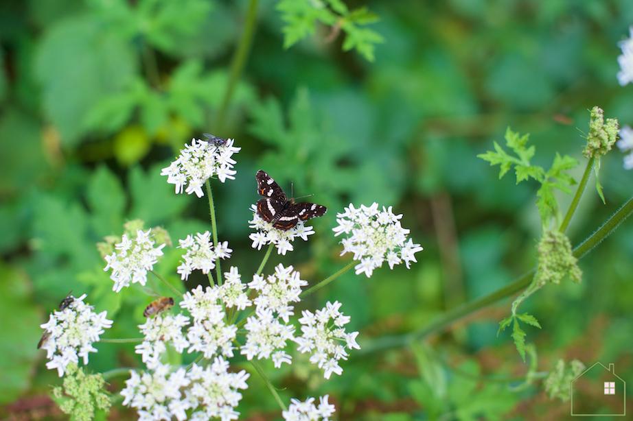 Landkaartje vlinder