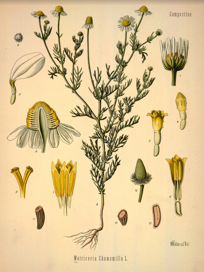 Kamille Matricaria Chamomila