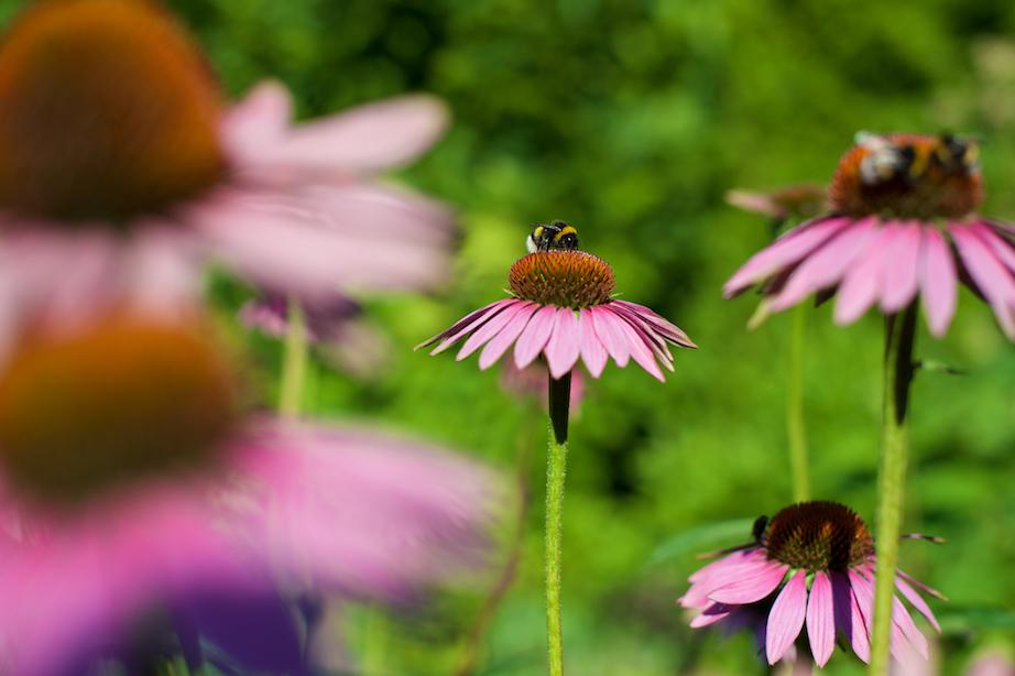 Tover je tuin om tot een bijenbuffet