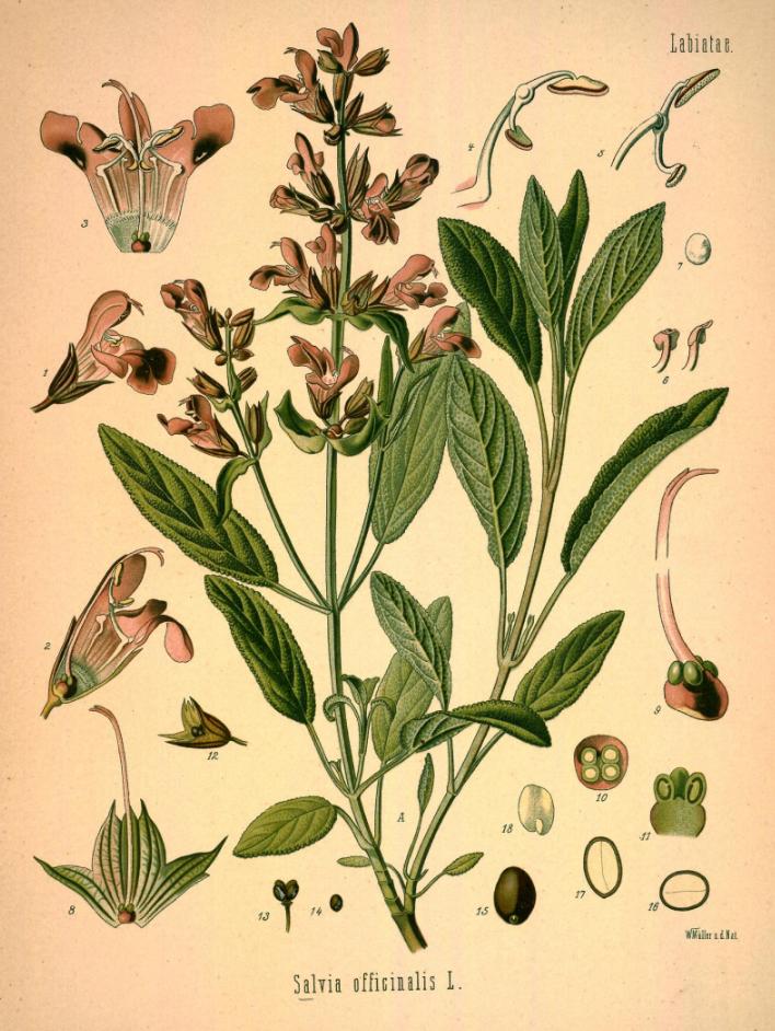 Salie Salvia Officinalis